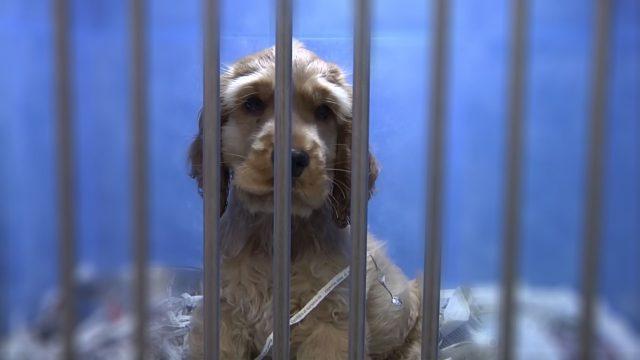 Tráfico de cachorros